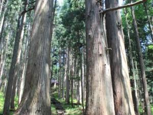 八幡さまの杉
