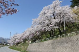 愛宕山 桜