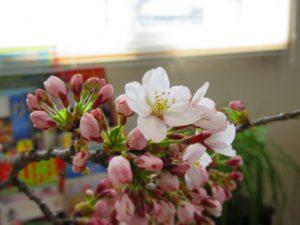 事務所の桜が咲きました♪