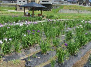 赤倉温泉 花菖蒲園