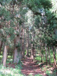 八幡様の杉
