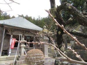 富山馬頭観音の梅の木